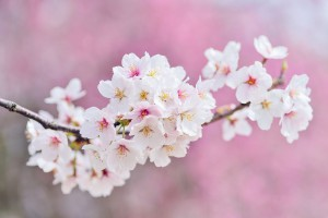 cherry-blossoms-2218781__480